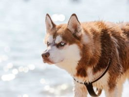 Husky Siberiano con Manto Rojo (Siberian Husky with Red CoatHusky Siberiano con Manto Rojo (Siberian Husky with Red Coat